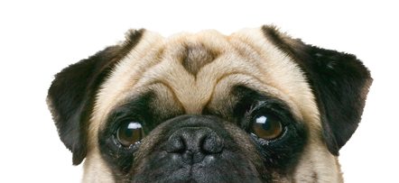 RxMobility pug on canine health pagee