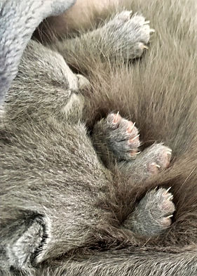 chaton chartreux loft13