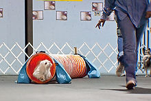 Dog Obstacle.jpg