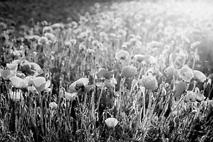 BW-poppies.jpg