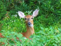 August Deer