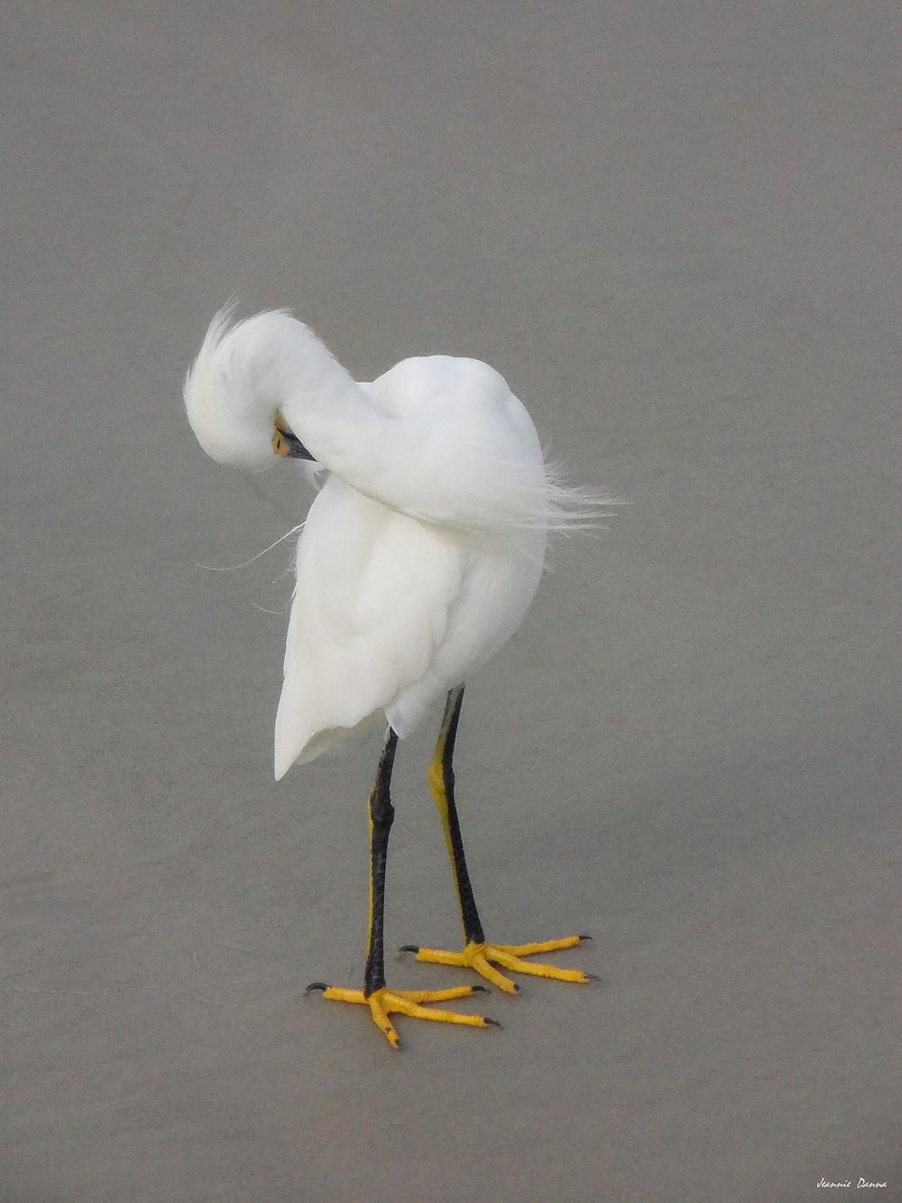 Snowy Egret ~ bend.jpg