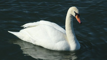 ~ Mute Swan ~