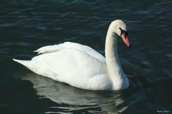 Mute Swan ~ dark