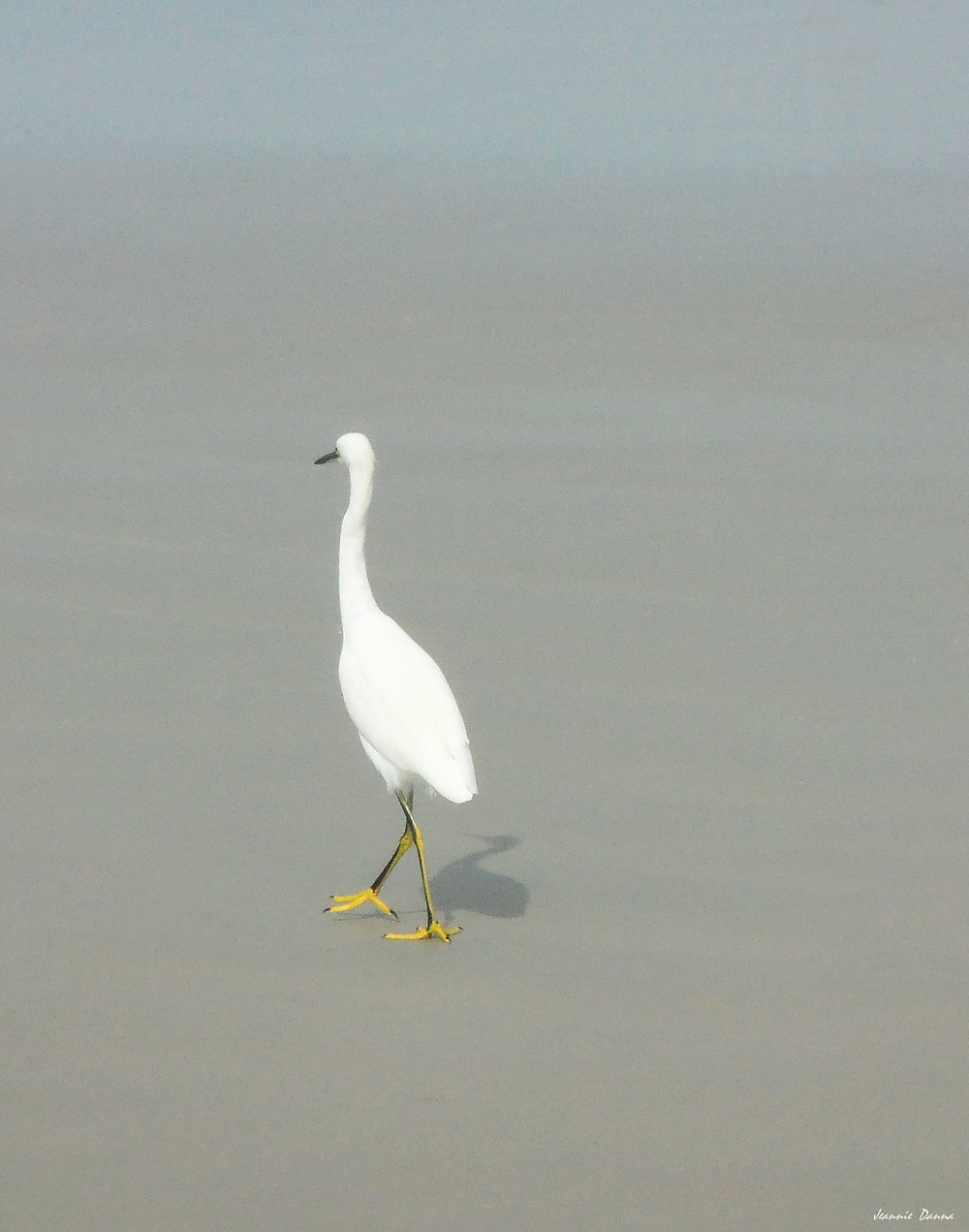 Egret ~ walk.jpg