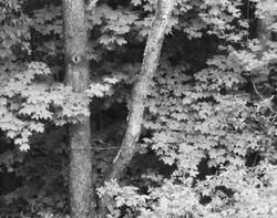 monchrome tree