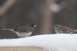 dark-eyed junco & sparrow
