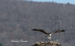 Onovile ~ Osprey