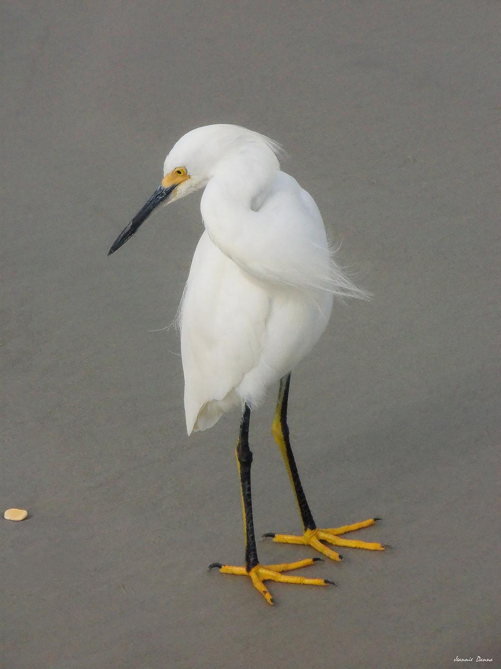 Egret ~ shell.jpg