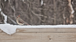 female cardinal b