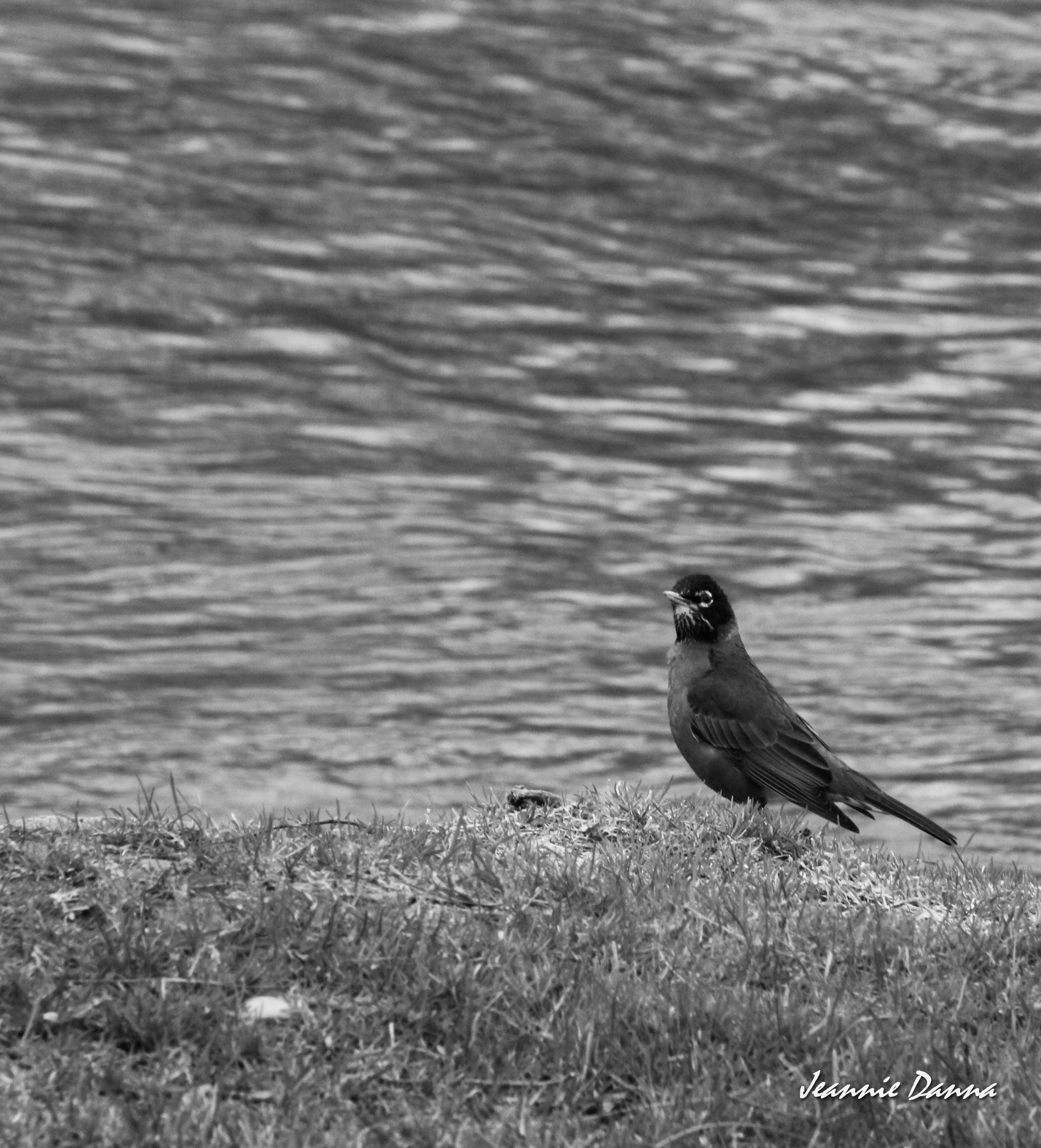 Monochrome Robin