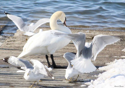 Mute Swan with Ring-Billed Gulls