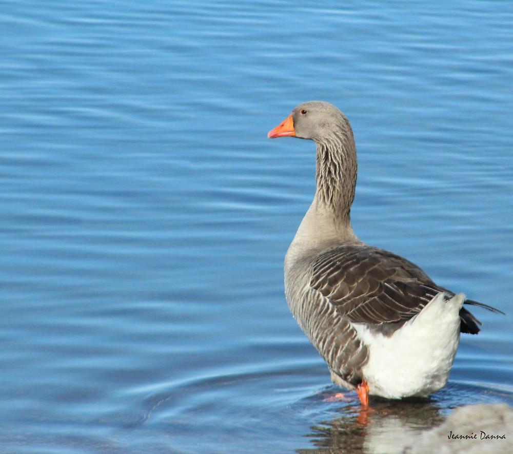 Snow Goose-001.jpg