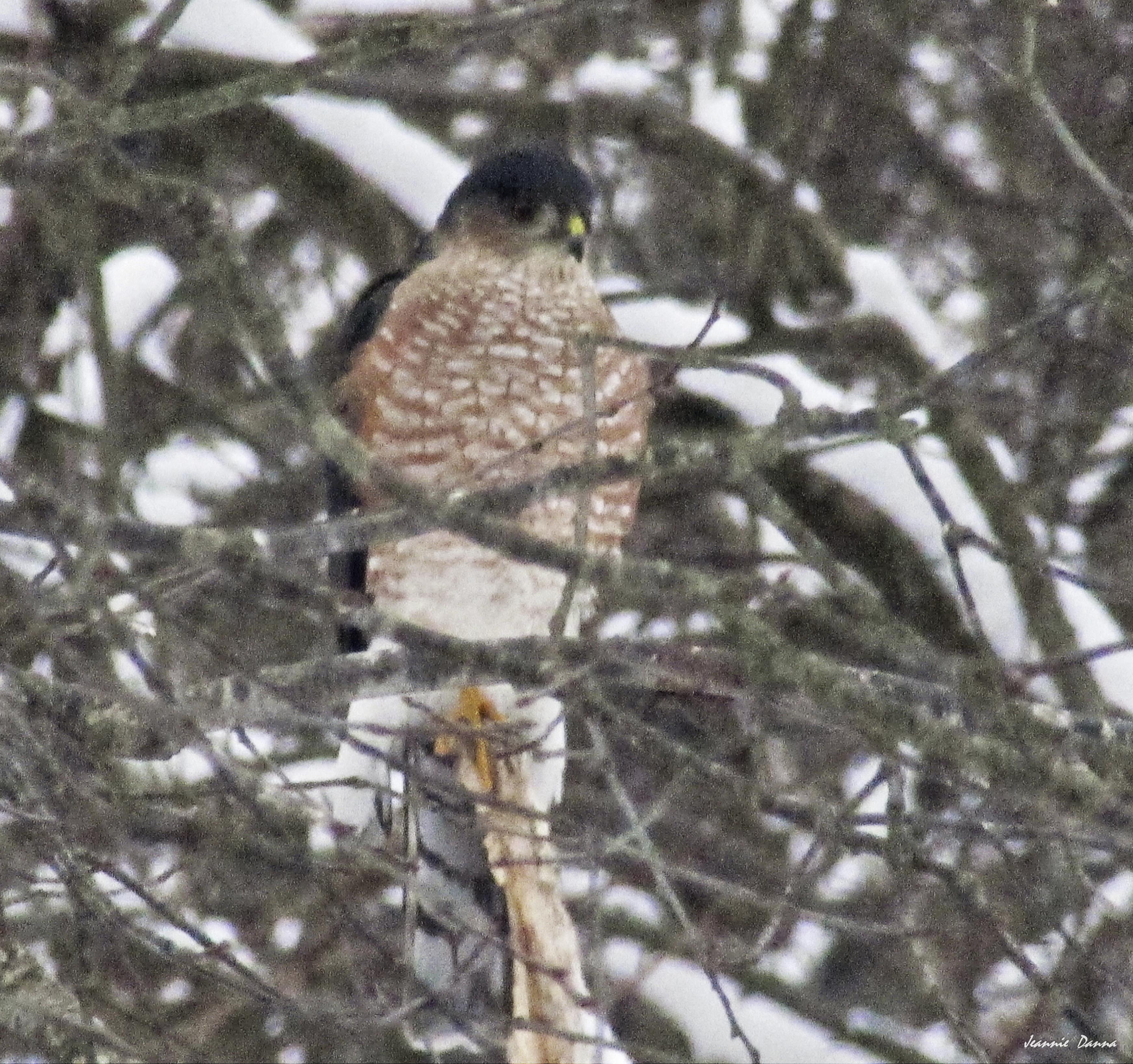 Sharp-Shinned Hawk aka sparrow hawk