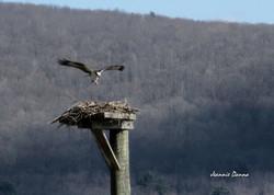 Osprey ~ Onovile, NY