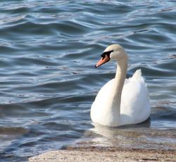Mute Swan ~ Rest