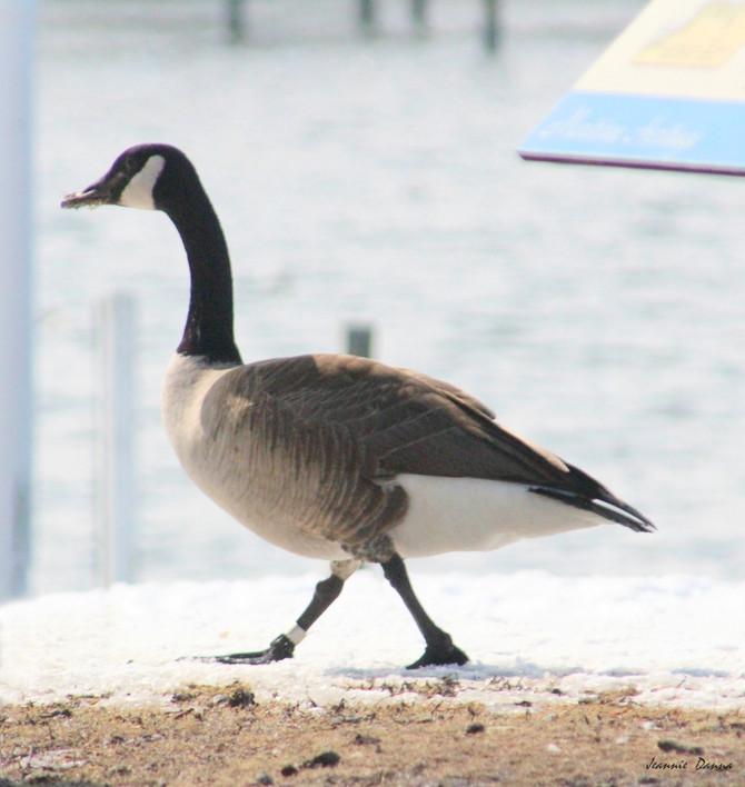 Canada Goose ...