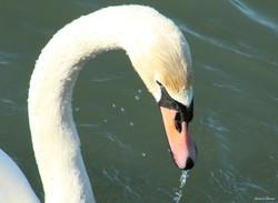 Mute Swan ~ water drops