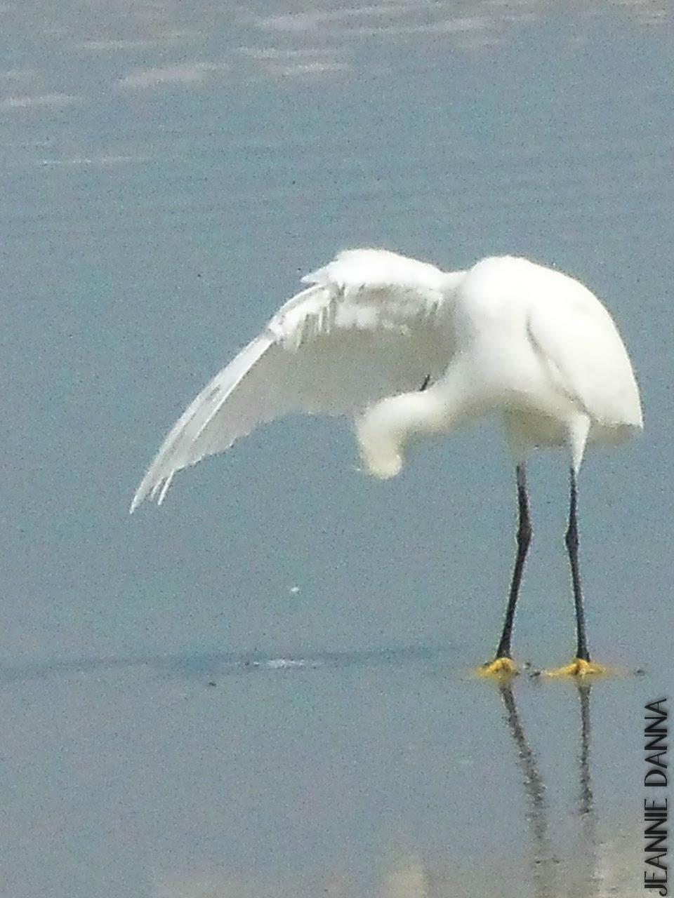 Snowy Egret's Preen