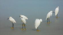 A Consideration : Snowy Egrets