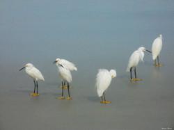 Egret Line Up