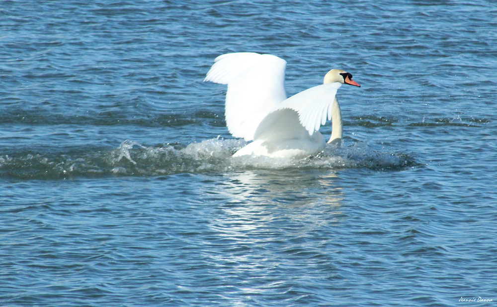 Mute Swan ~ landing.jpg