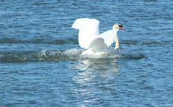 Mute Swan ~ landing