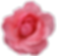 15-pink-rose-png-image-picture-download.