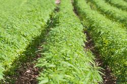 Farming Fields of Marijuana
