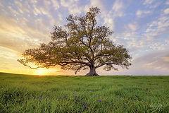 Tree in Sunset.jpg