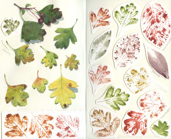 Leaf studies - hawthorne