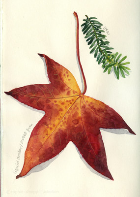Leaf studies - yew and sweet gum