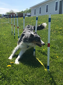 Weave Poles Dog Agility