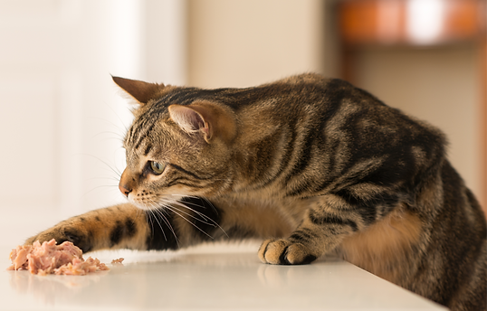 Cat nutrition and what a cat needs in his diet