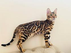 бенгалы бенгальские котята