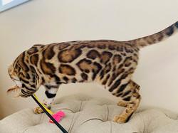 продажа бенгалов питомник бенгальских кошек