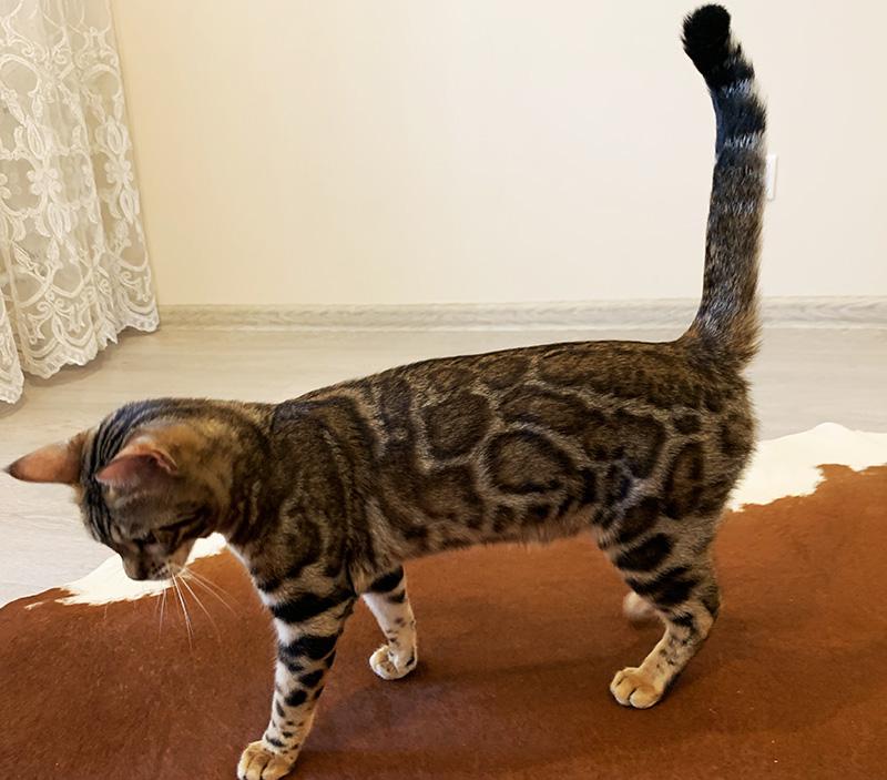 Бенгальские котята питомник Leopardetta