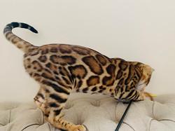 цена бенгальского котенка