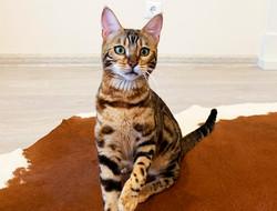 бенгальский кот москва