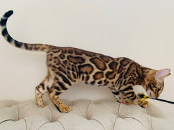 бенгальский кот продажа котят