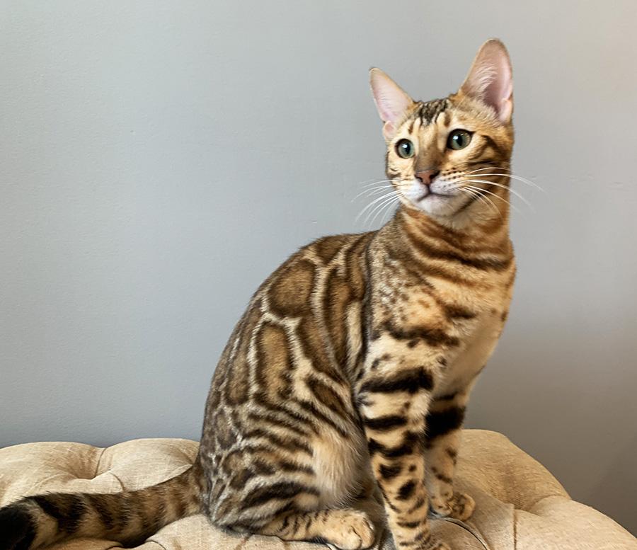 цена котят бенгальских