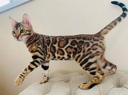 купить котенка в питомснике бенгальских кошек
