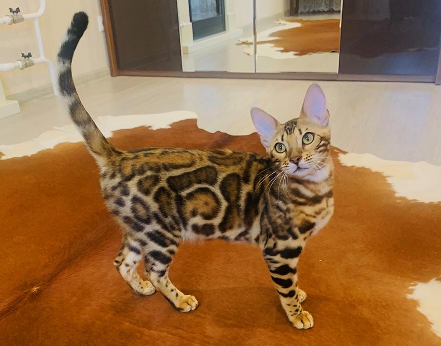 купить котенка в москве