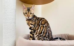 купить бенгальского котенка в питомнике