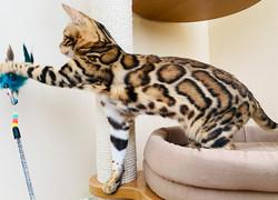 купить бенгальского котенка москва