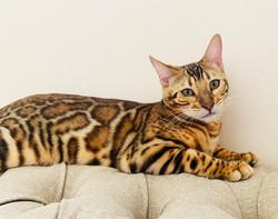 элитные красивые котята