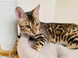 продажа бенгальских котят бенгальский кот