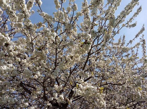 cherry 3.jpg