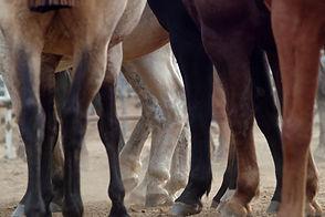 Pferdebeine