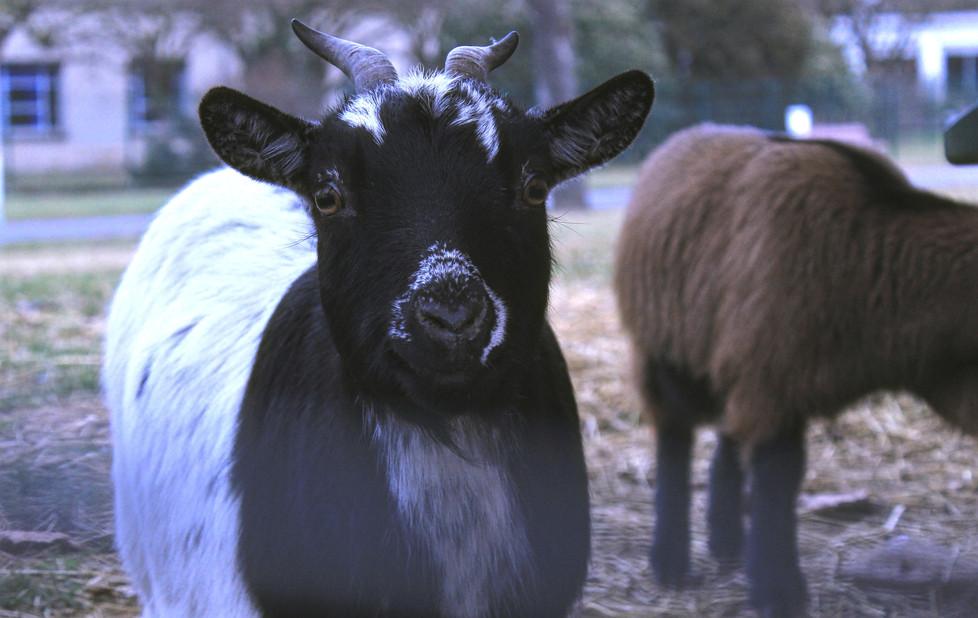 Goat I.jpg